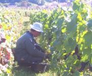 Cueillette du raisin aux «Hautes-Chèvres»
